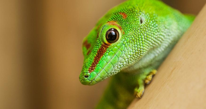 Closeup of a green lizard
